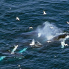 How many humpback whales cooperative feeding?  Answer, five.