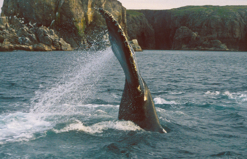 This humpback is diving for a small fish, called Caplin.  They are found close to shore.