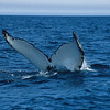 There is some research that thinks even the barnacles on the tip of the humpbacks fluke may commnicate with the whale.