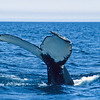 The humpback's powerful tail provides propulsion and speed.  Each tail color is unique to each whale.