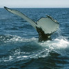 A diving humpback whale with a beautiful white fluke.