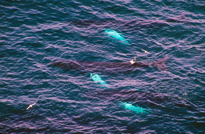 How many humpback whales cooperative feeding?  Answer, three.