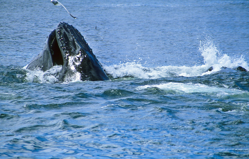 The hungry humpback reaches the surface with a mouthful of Capelin.  His jaw is full, he has a heavy load.
