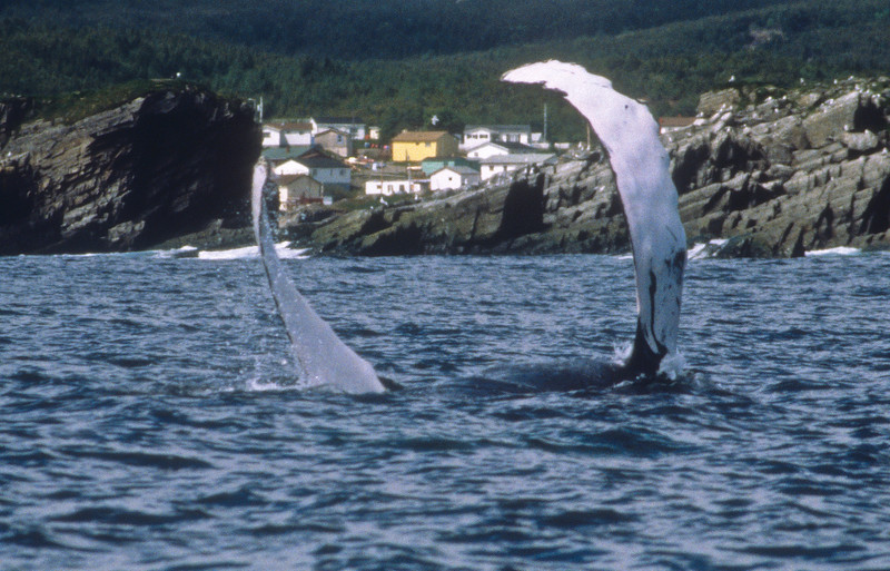 A humpback whale swimming on her back with her flippers in the air.  They beautifully frame the village in the back ground.