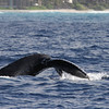 Humpback Whale - Big Island Hawaii