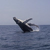 Humpback whales enjoy breeching just to have fun and also to communicate with other whales.