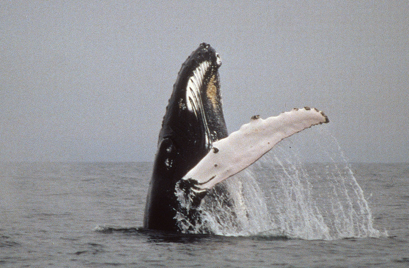 To breech a whale must dive deep, turn and thrust itself upward and then high out of the water.  Then they fall back into the water making a huge splash.