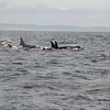 Orca Vancouver Island