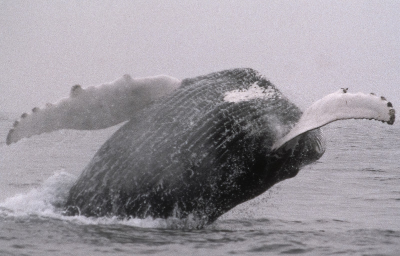 On a foggy morning the humpback breaches close to the boat.