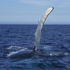 It is believed that flipper slapping is part of the humpback's communication process.