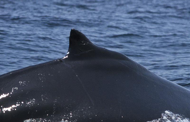 A humpback whale swimming very close.