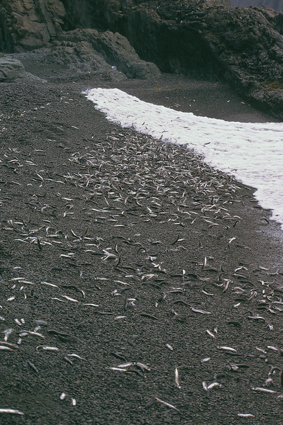 After swimming through the gantlet of prey; other fish, seabirds, land birds, and humpback whales, these lucky Capelin have reached the beach to lay their eggs and then die.  Many are eaten along the way.  It is important that the Capelin reach the beach to spawn, many species depend upon them as a food source.