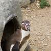 Humboldt Penguin