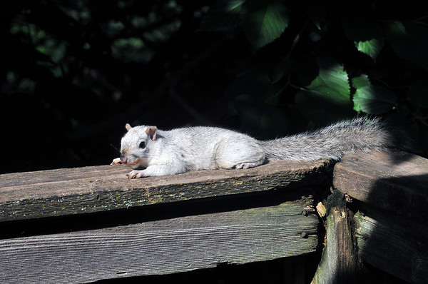 White Squirrel Appears On My Deck