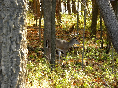 White Tail Deer - IL