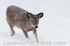 Whitetail Deer (w0003)