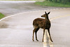 It was raining and the water puddled up in the road in potholes. The deer would drink from the puddles.