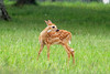 At Big Meadows, there is a beautiful lodge and a large lawn in front of it. This little fawn began to play....
