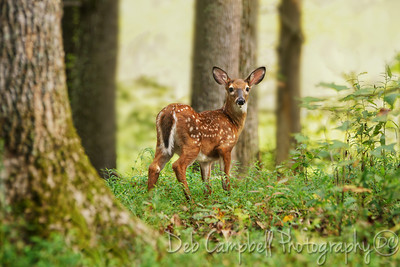 Little Fawn in the Big Woods
