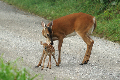 Momma Doe with Fawn