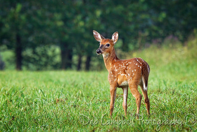 White Tailed Fawn-Button Buck