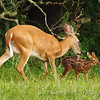 Whitetailed Fawn with her mom<br /> Cades Cove<br /> Great Smoky Mountains National Park