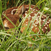 Whitetailed Fawn curled up in a field napping<br /> Cades Cove<br /> Great Smoky Mountains National Park