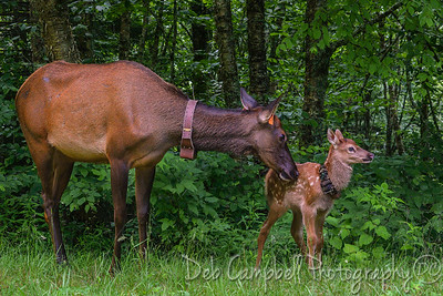 Elk cow with calf