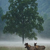 A trio of Elk Cows<br /> Cataloochee Valley<br /> Great Smoky Mountains