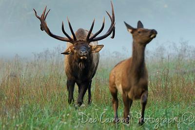 Bull Elk chasing Calf