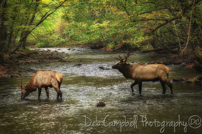 Bull Elk crossing Oconaluftee River