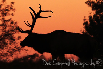 Bull Elk at Sunset