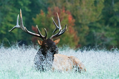 Elk, frost and Fall color