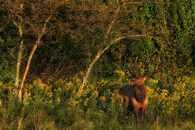 Bull elk in Goldenrod