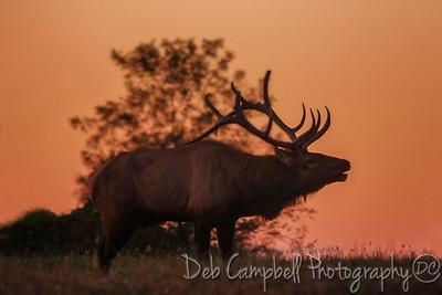 Sunset Bugle