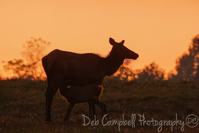 Nursing Calf at Sunset