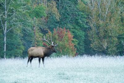 Bull Elk in Frost