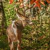 An Autumn Buck