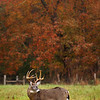 11 point whitetailed buck Cades Cove Great Smoky Mountains Fall 2013