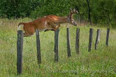 Summer Buck Fence Jump-1