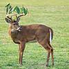 Caesar the Buck