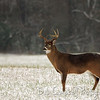 8 point buck in the snow of Cades Cove Great Smoky Mountains