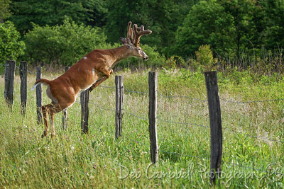 Summer Buck Fence Jump-2