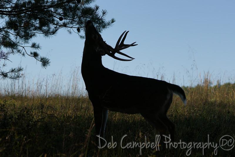 Buck Scrape Silhouette