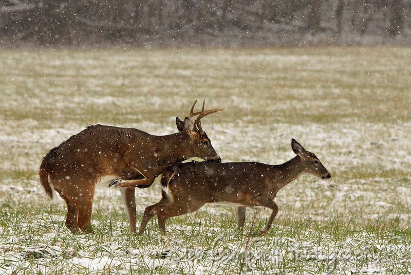White tailed rut in full swing Cades Cove Great Smoky Mountains