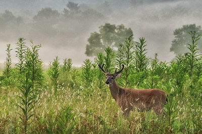 Velvet Buck on Sparks Lane
