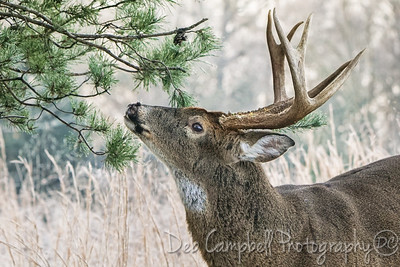 White Tailed Buck-RV