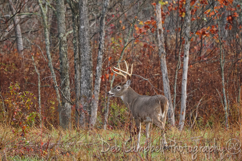 Buck in the Fall Color