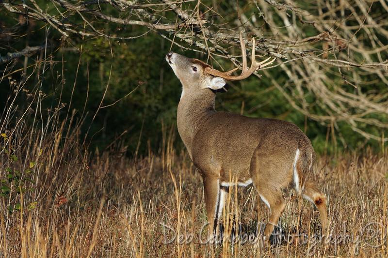 Scent Marking Buck