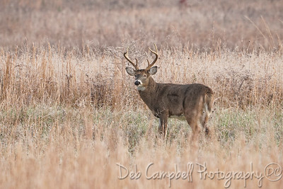 Bruised and Battered Buck